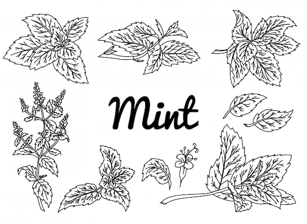 Mint vector drawing set