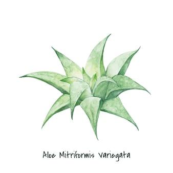 Рисованные алоэ mitriformis variegata