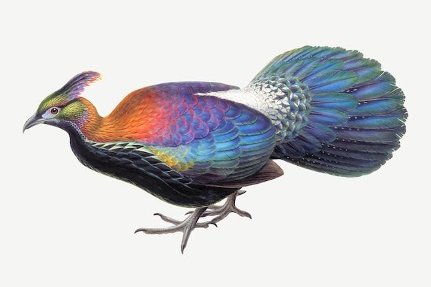 Stampa d'arte animale vettoriale uccello monal, remixata da opere d'arte di john gould e henry constantine richter