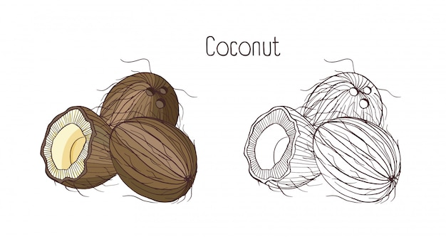 Monochrome contour and colorful drawings of coconut
