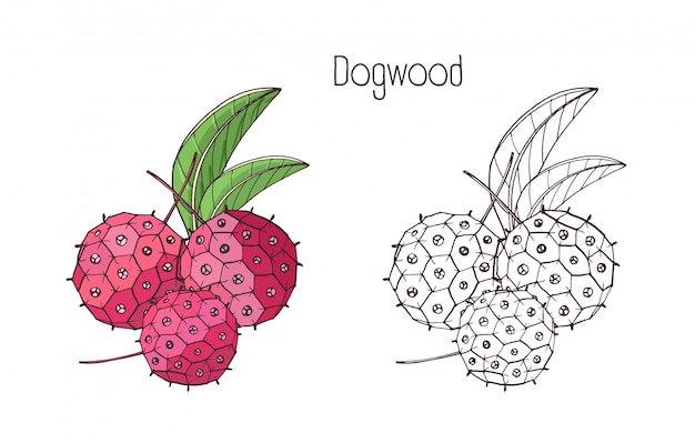 Monochrome outline and colored drawings of exotic dogwood berry.