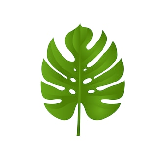 Monstera branch isolated