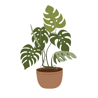 白で隔離植木鉢のモンステラ