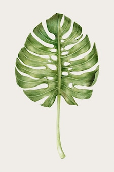 Monstera leaf hand-drawn vector in colored pencil