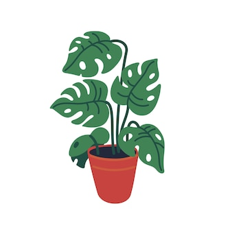 Monstera in the pot