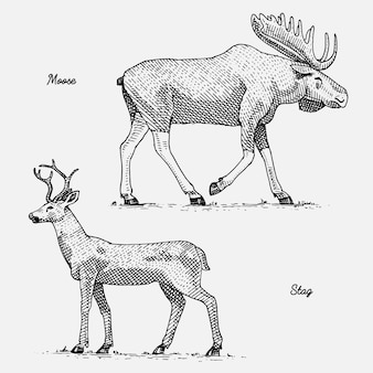 Moose or eurasian elk and stag or deer, hand drawn, engraved wild animals in vintage or retro style, zoology set