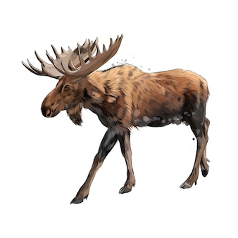Moose from a splash of watercolor, colored drawing .