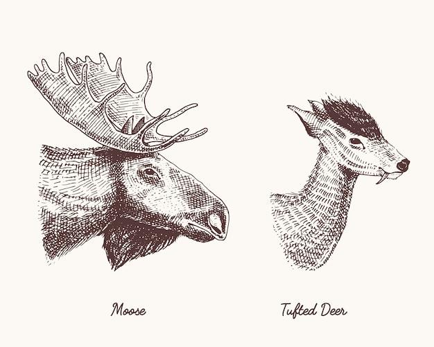 ムースやユーラシアのヘラジカ、房状の鹿のベクトルの手描きイラスト、枝角や角を持つ野生動物が刻まれたヴィンテージの頭の側面図を探して