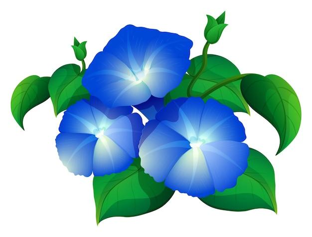 Gloria mattutina in colore blu