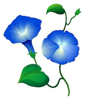 Fiori di gloria mattutina in colore blu