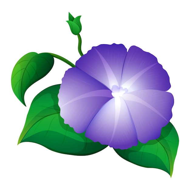 Morning glory in purple color