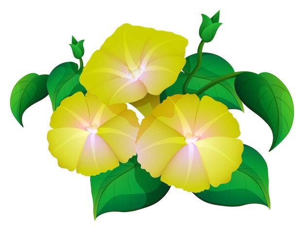 Gloria mattutina in colore giallo