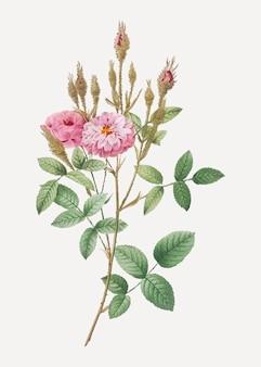Mossy pompon rose