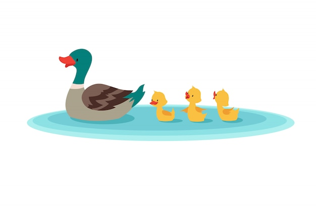 Mother duck and little ducks in water. ducklings swimming in row.