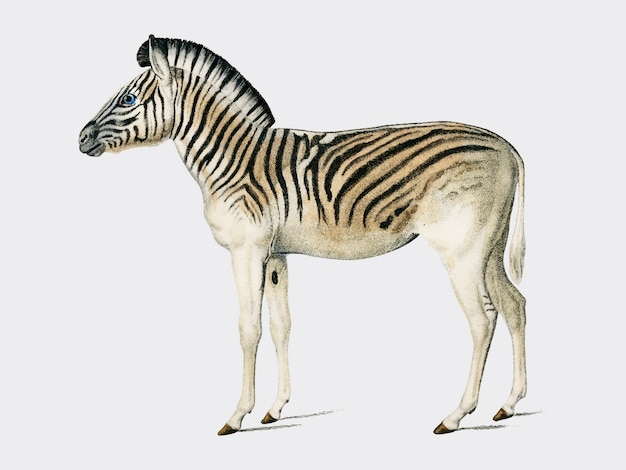 Mountain zebra (dauw) illustrated by charles dessalines d orbigny (1806-1876).