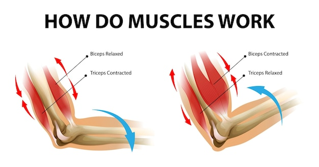 Movement process of the arm muscle. biceps and triceps