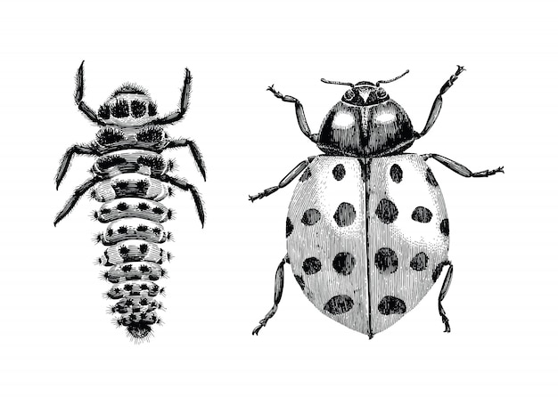 Multicolored asian lady beetle,larva and adult lady beetle hand drawing vintage engraving illustration on white background