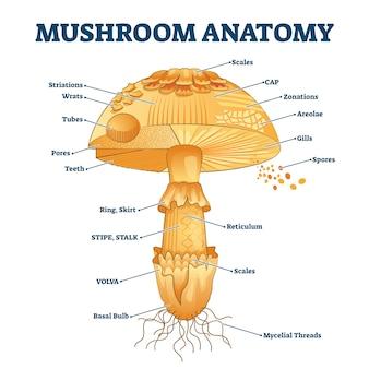 Mushroom anatomy labeled biology illustration