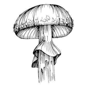Mushroom illustration sketch  in line art style.  antique vintage engraving illustration.
