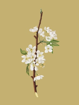 Musky pear flower from pomona italiana illustration