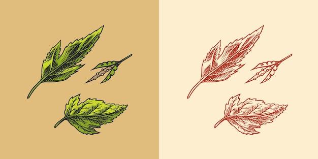 Горчичный завод пряный приправа зеленые листья урожай