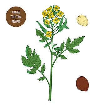 Mustard. vintage botany vector hand drawn illustration isolated. sketch style. kitchen herbs and spices.