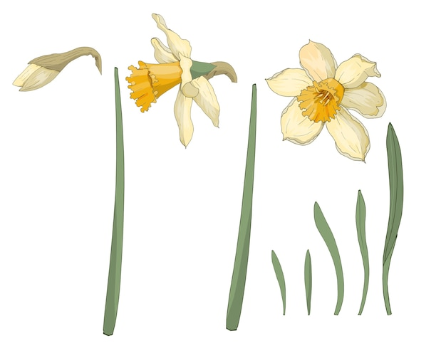 Narcissus. close-up. spring flowers. set of flowers, leaves, bud of narcissus. multi-colored image. decor element. illustration.