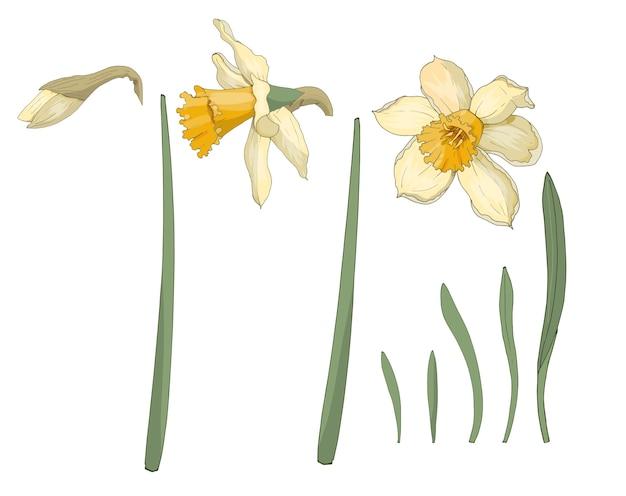 水仙。閉じる。春の花。花、葉、水仙のつぼみのセット。マルチカラー画像。装飾要素。図。