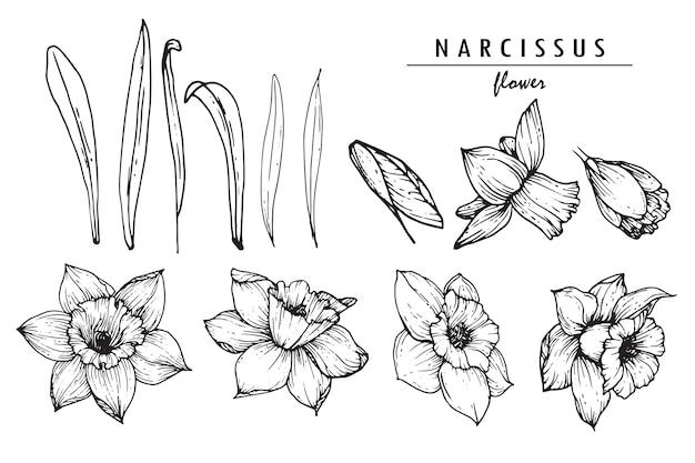 Narcissus or daffodil flower