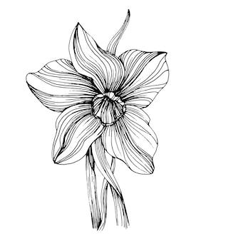 白で分離された水仙の花