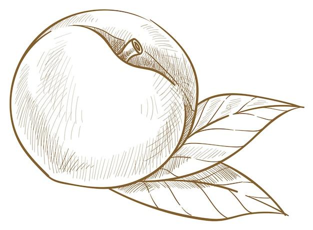 天然および有機のアプリコットまたは甘い桃。葉と熟したベリーの孤立したアイコン。収穫と生産、市場や店での新鮮な品揃え。モノクロスケッチアウトライン、フラットスタイルのベクトル