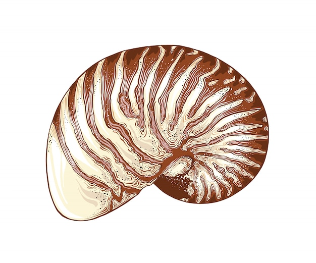 Вручите вычерченный эскиз раковины nautilus в изолированном цвете. подробный винтажный стиль рисования. векторная иллюстрация