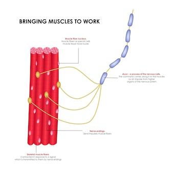 근육을 작동시키는 신경 현실적인 의료 일러스트레이션