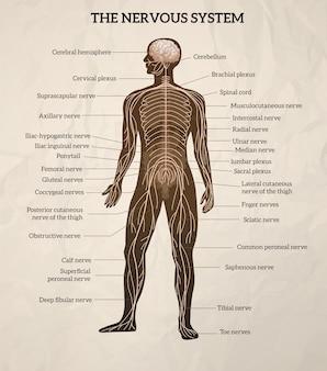 Illustrazione del sistema nervoso Vettore gratuito