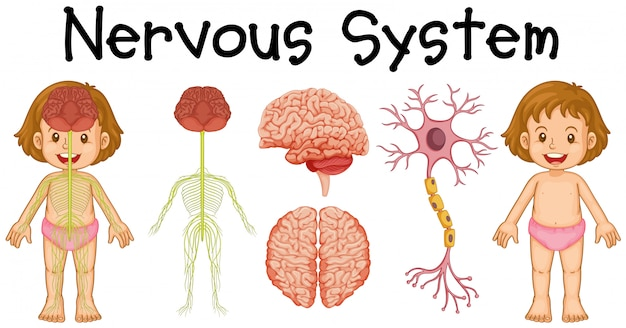 Nervous system of little girl