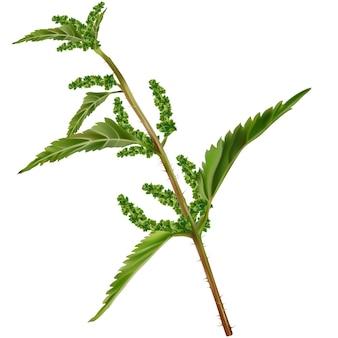 Nettle branch urtica dioica