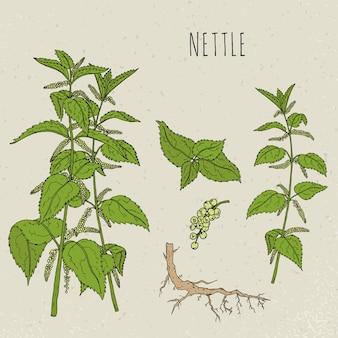 Иллюстрация крапивы медицинская ботаническая изолированная. растение, листья, корень, цветы рисованной набор. старинный эскиз красочный.