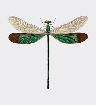 Потоковая слава (neurobasis chinensis), иллюстрированная чарльзом дессалинесом д орбиньи (1806-1876)