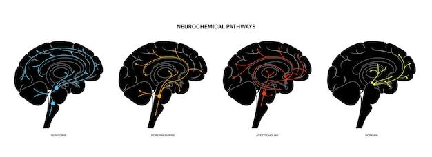 Нейрохимический путь в головном мозге. диаграмма серотонина, дофамина, ацетилхолина и норадреналина
