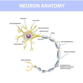 ニューロン、神経細胞の軸索。ニューロンの構造