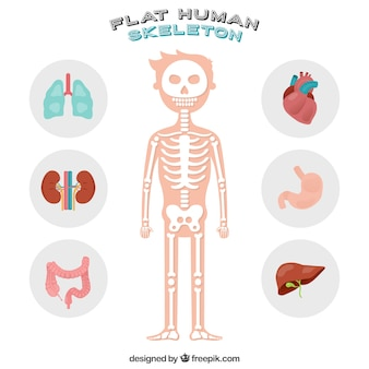 Nice human skeleton