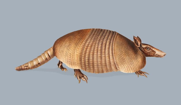 Nine-banded armadillo illustration