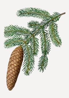 Norwegian spruce tree