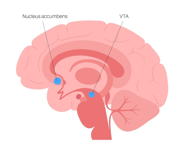 Nucleus accumbens and vta concept. human brain anatomy. cerebral cortex and cerebrum vector