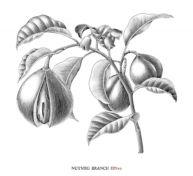 мускатный орех филиал ботанический рисунок винтажный стиль черно-белый клипарт изолированные