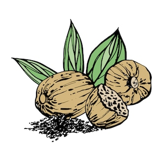 Nutmeg and leaves  hand drawn illustration