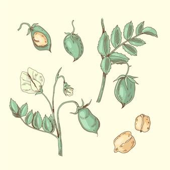 栄養ひよこ豆と植物のイラスト