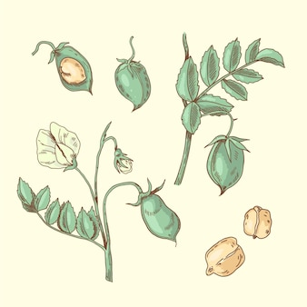 Nutritive chickpea beans and plant illustration