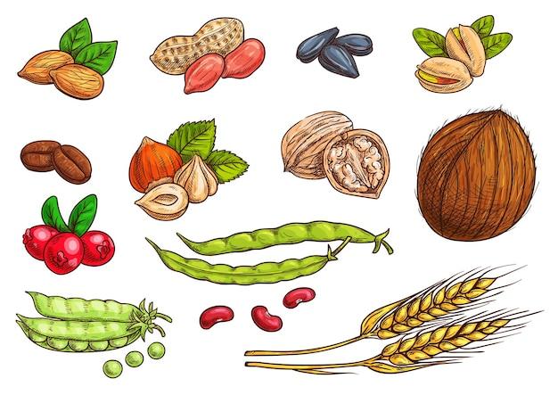 견과류, 곡물, 커널 및 열매. 밀, 아몬드, 커피 콩, 완두콩 포드, 콩의 고립 된 스케치 아이콘