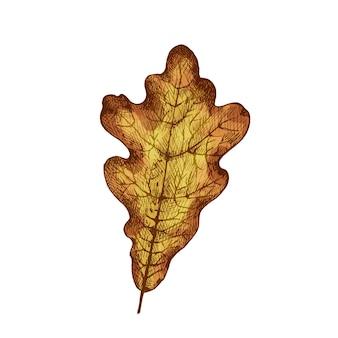오크 가을 잎. 벡터 색상 빈티지 해칭 그림 흰색 배경에 고립.